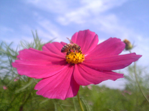 Cosmos_and_bee.jpg