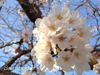 桜。。。20130325