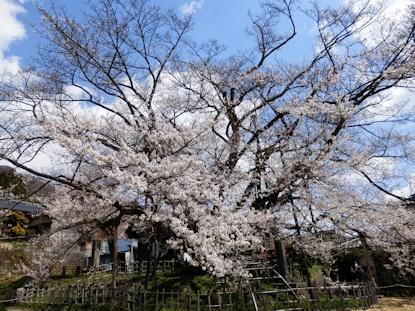神代桜 2