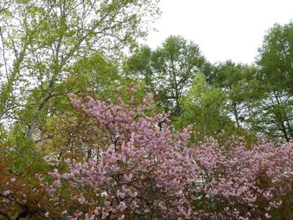 緑&八重桜