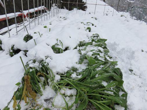 野沢菜と雪???