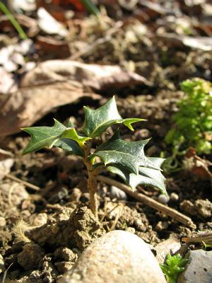 2008年初冬、に葉に芽を出したヒイラギその1