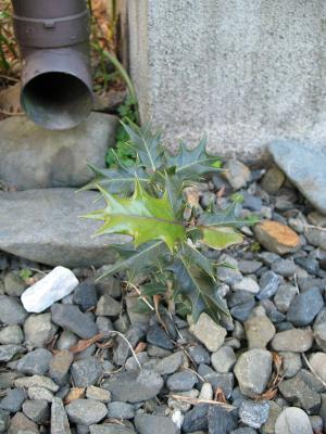 2008年初冬、に葉に芽を出したヒイラギその2
