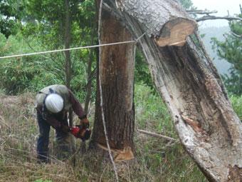 130615-03-pine.jpg