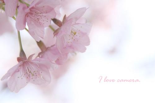 IMG_2012_03_15_3618桜3