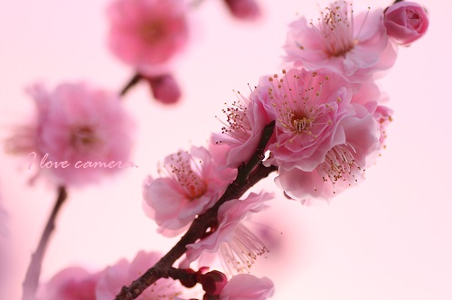 IMG_2014_02_04_9999_47梅の花3
