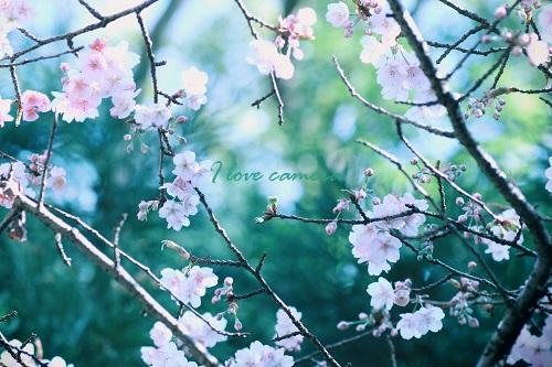 IMG_2014_02_05_9999_35寒桜