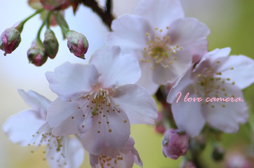 IMG_2014_02_05_9999_123寒桜2