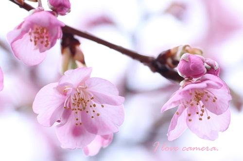IMG_2014_02_10_9999_35河津桜