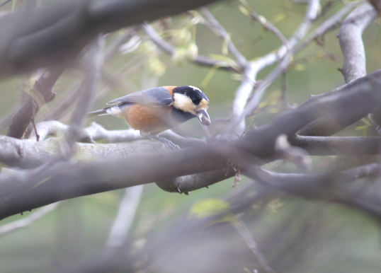 雪国植物園鳥