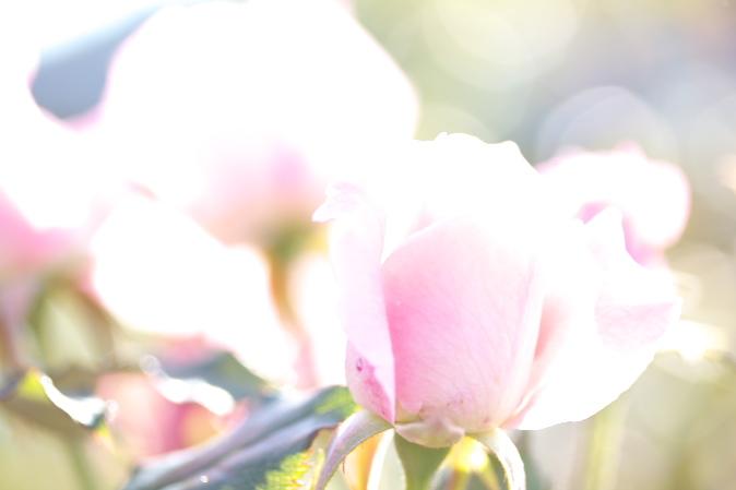丘陵公園バラ、2