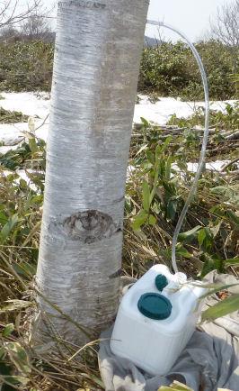 NLR白樺樹液採取