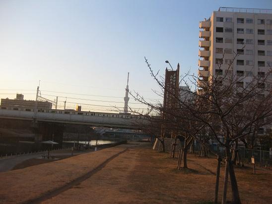 7スカイツリーと電車と河津桜蕾