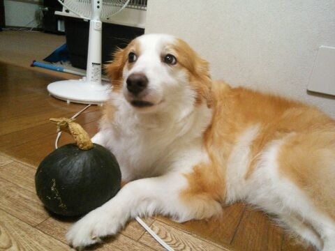 かぼちゃレミ まだ~