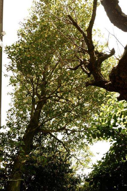 セピアの木