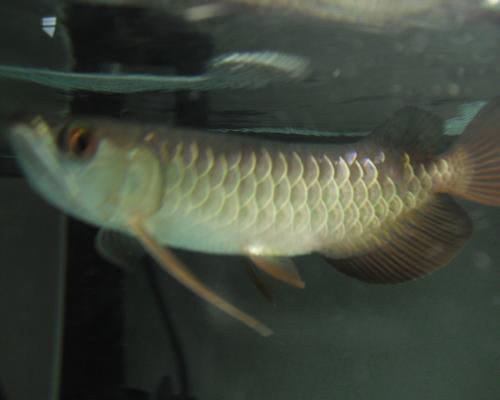 紅尾1-2