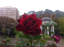 $kosuzumekyokiuのブログ-赤いバラ