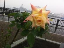 $kosuzumekyokiuのブログ-黄色いバラ