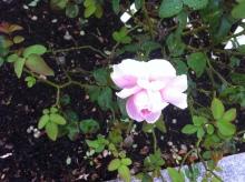 $kosuzumekyokiuのブログ-ピンクのバラ