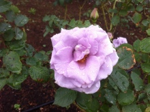 $某秘密結社の横須賀での活動について-紫のバラ