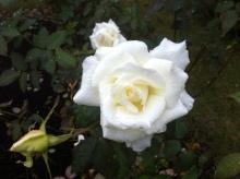 $某秘密結社の横須賀での活動について-白いバラ
