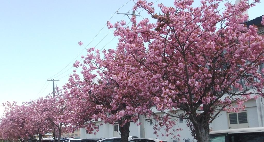 20120526体育大会01桜