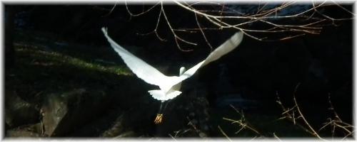 130119H 035コサギ飛ぶ