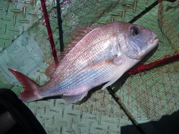 50cm鯛