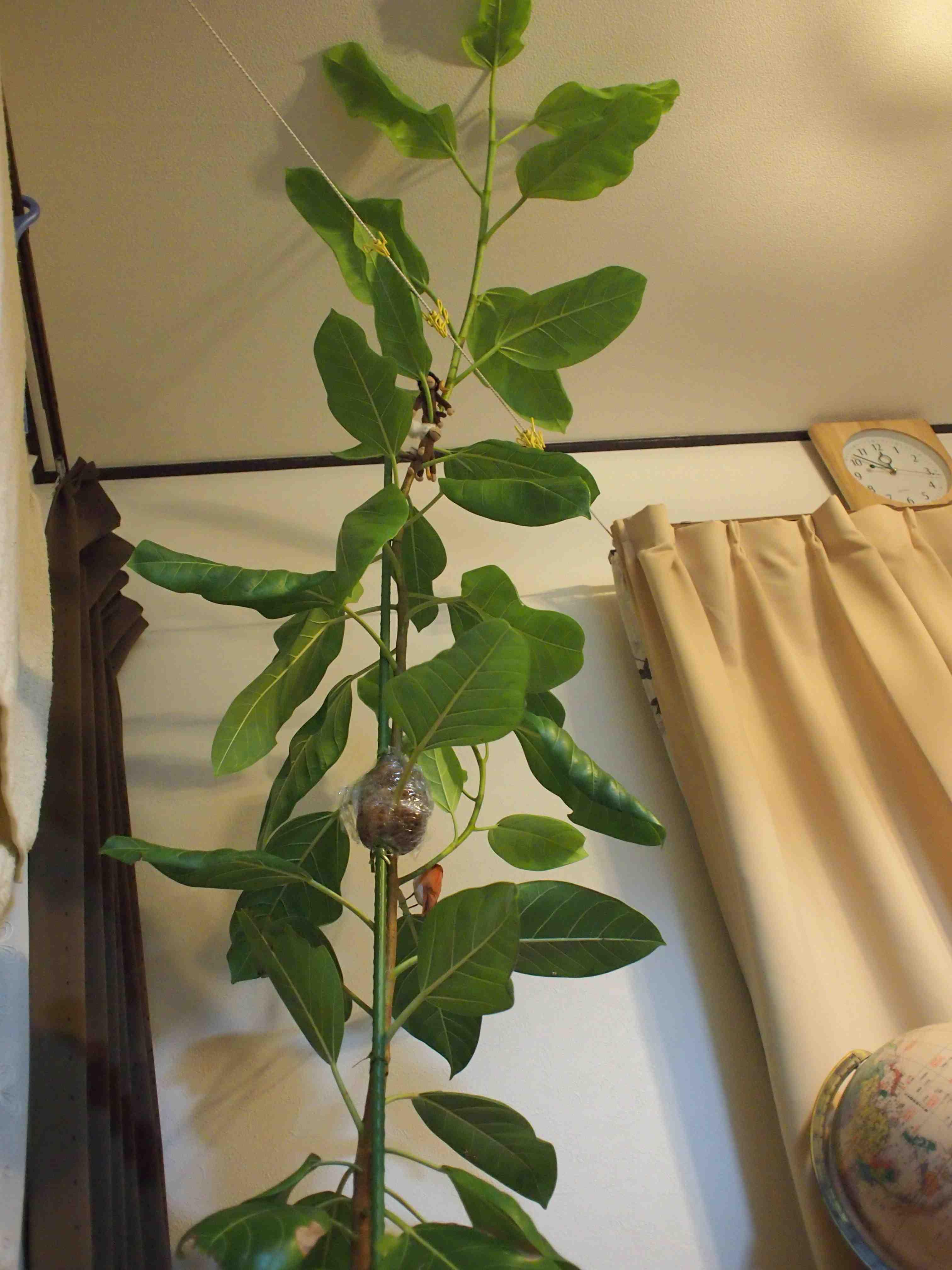 伸びすぎゴムの木