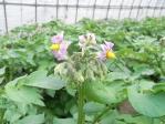 1259ジャガイモの花