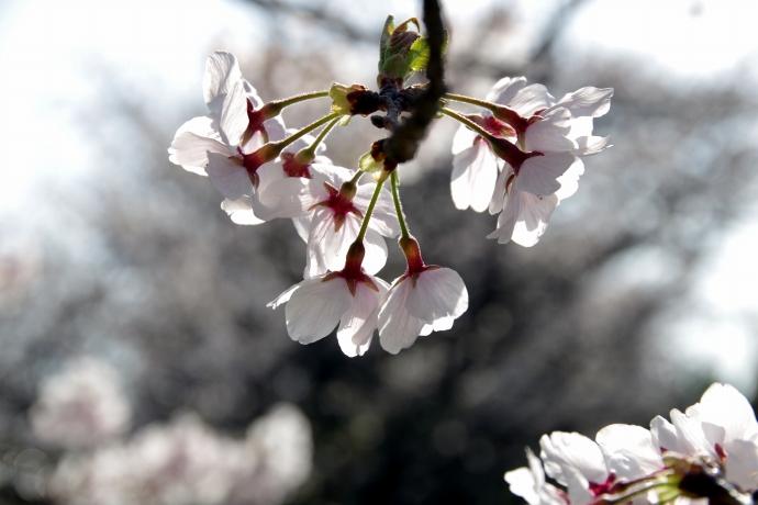 20130405桜03