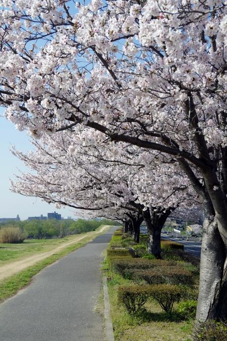 20130405桜07