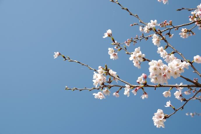 20130405桜13