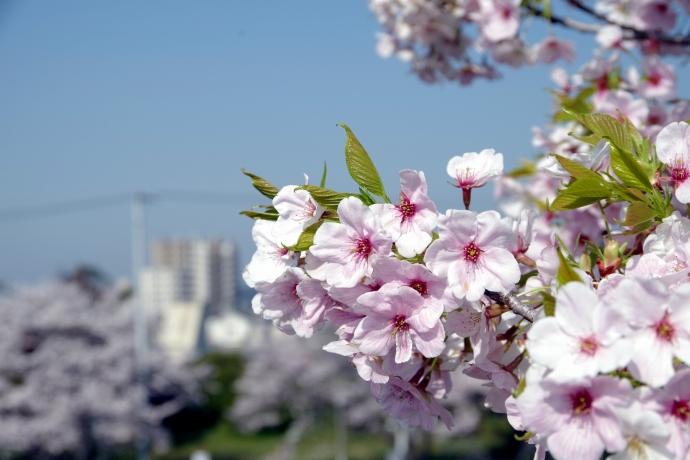 20130405桜09