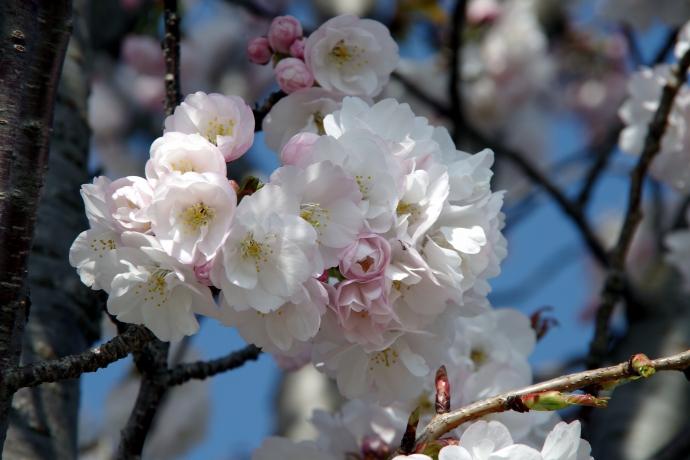 20130405桜14
