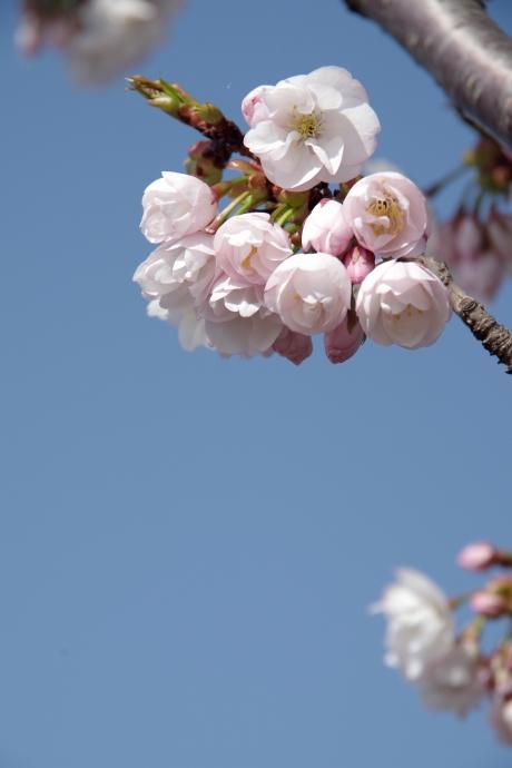 20130405桜10