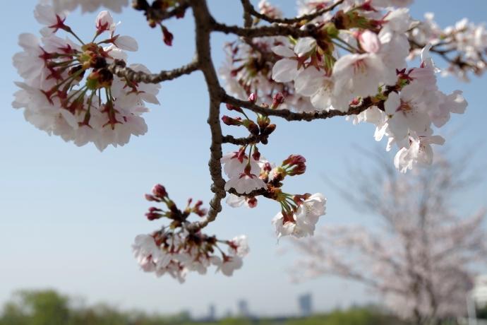 20130405桜15