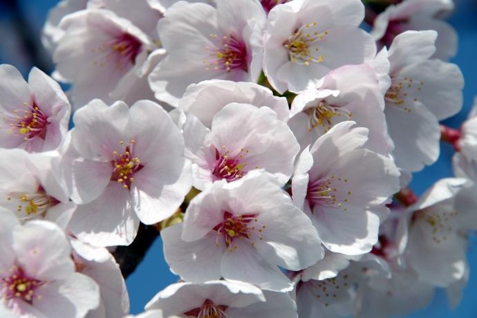 20130405桜16