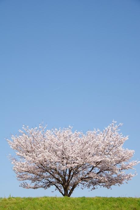 20130405桜12