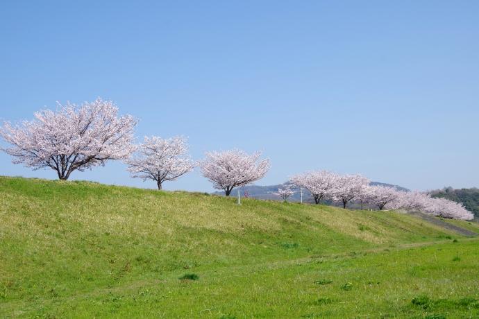 20130405桜06