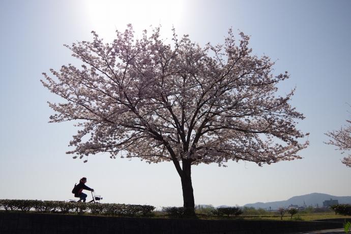 20130405桜11
