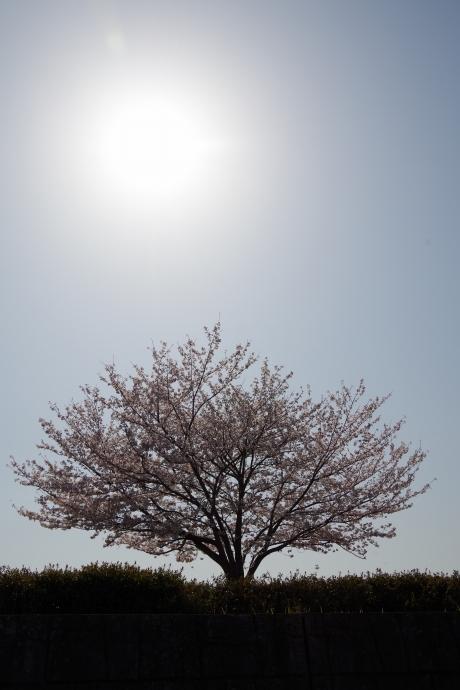 20130405桜05