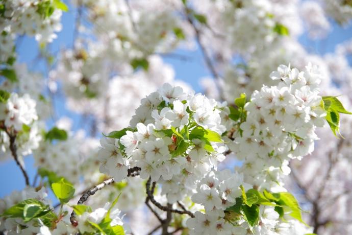 20130405桜17