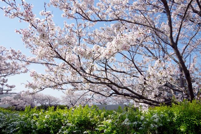 20130405桜18