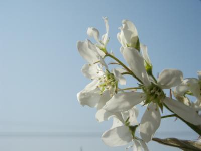 20120416ジューンベリーの花