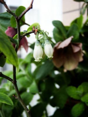 20120424ブルーベリーの花