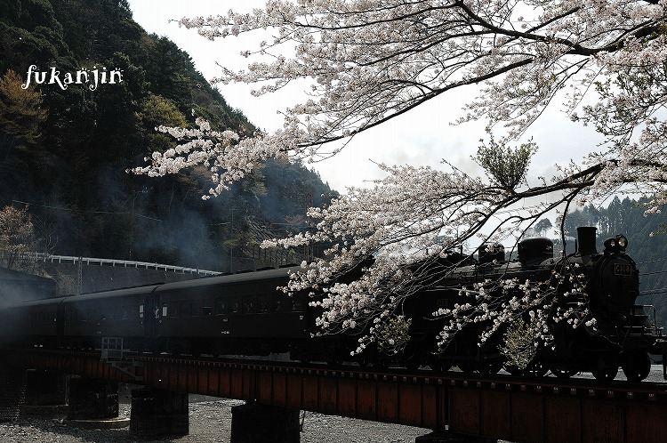 大井川鉄道桜 (2)