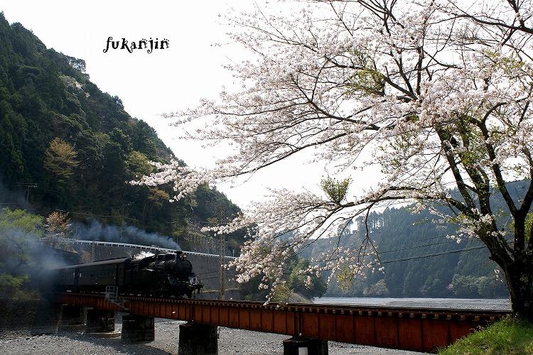 大井川鉄道桜 (4)