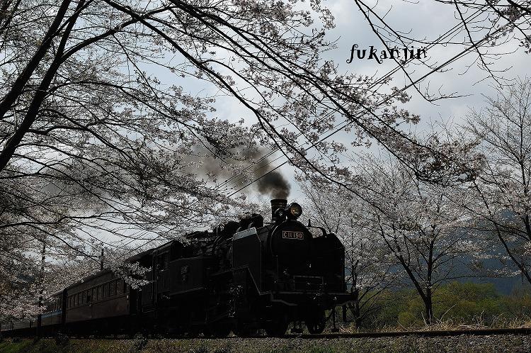 大井川鉄道桜 (1)