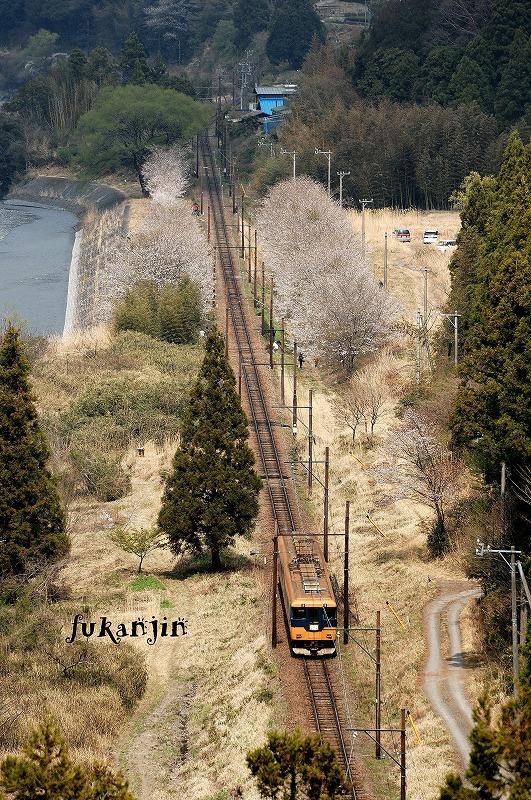 大井川鉄道桜 駿河徳山俯瞰 (1)